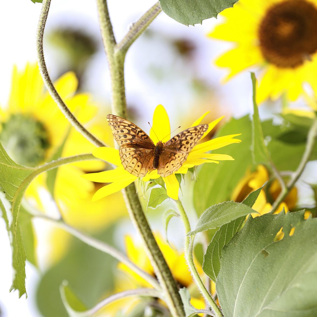 Butterfly in Seneca County (photo)